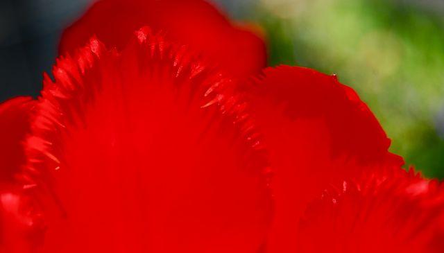 TulipEdge