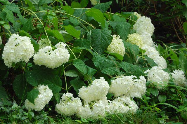 Q a are your annabelle hydrangeas a flop toronto gardens for Annabelle hydrangea