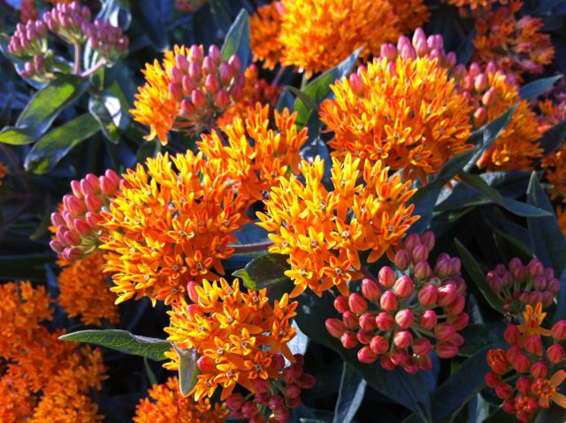 butterfly weed one weed you want  toronto gardens, Beautiful flower