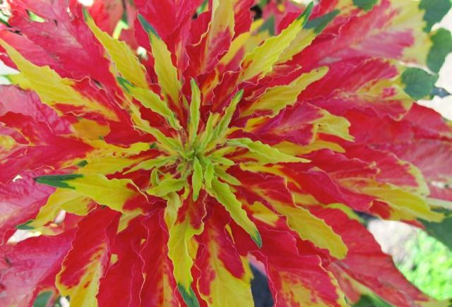 Amaranthus-JosephsCoat