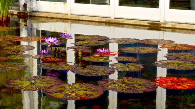 TorontoGardens-Waterlilies