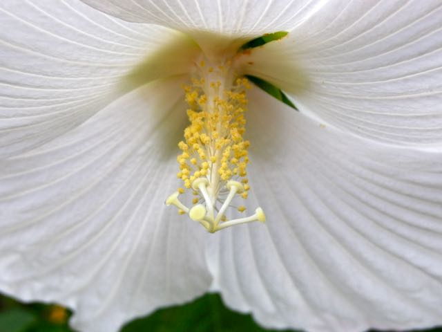 The white petals act as their own filter to brighten up the stamens and pistil