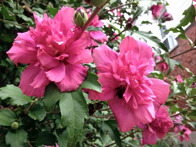 The Rosy And Not So Rosy Rose Of Sharon Toronto Gardens