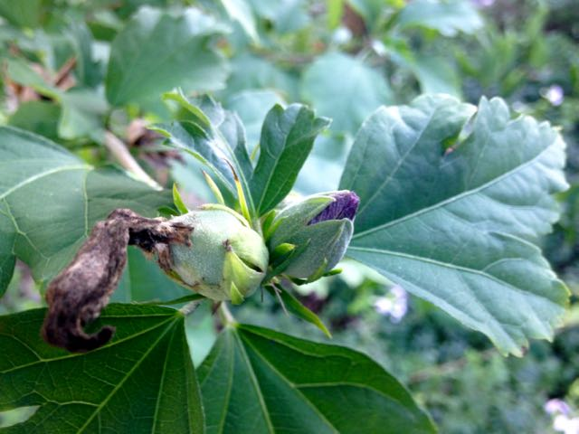 Here you can see a developing seed capsule (left) and a flower bud (right)