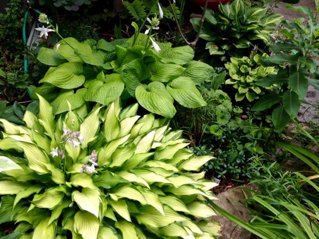 Close to the rain barrel and soaker hose, Hosta 'Pineapple Upside-Down Cake', fragrant H. 'Fried Green Bananas', H. 'Golden Tiara' and H. 'Striptease' – the latter a division this year from an oversized one in the back.