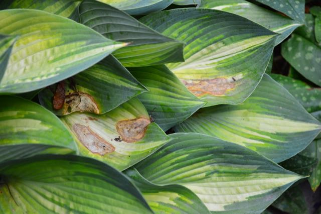 Hosta 'June' isn't the only plant with a sunburn this hot, dry summer 2016.