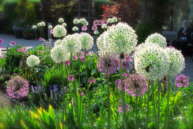 alliums-torontogardens