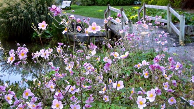 anemone-montrealbotanicalgardens-torontogardens