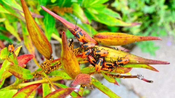 milkweedbug-nymphs-torontogardens
