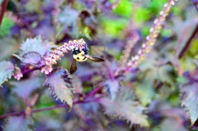 purplebasil-torontogardens