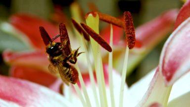 beegatheringlilypollen-torontogardens