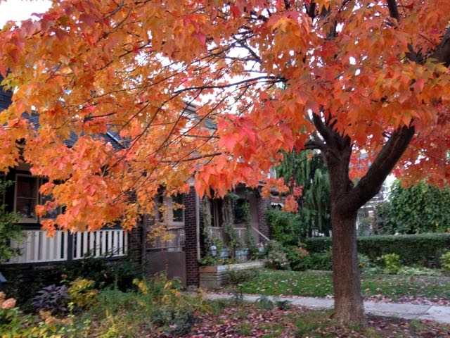 crown-redsunset-redmaple-torontogardens