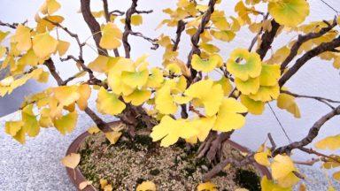 ginkgobonsai-montrealbotanicalgarden-torontogardens