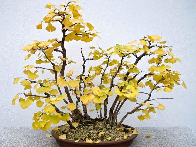 ginkgobonsai2-montrealbotanicalgarden-torontogardens