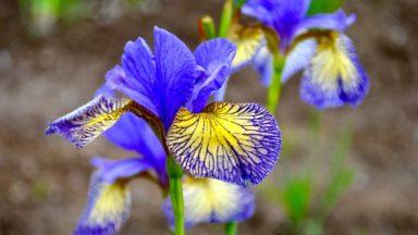 iris-banishmisfortune-rbg-torontogardens
