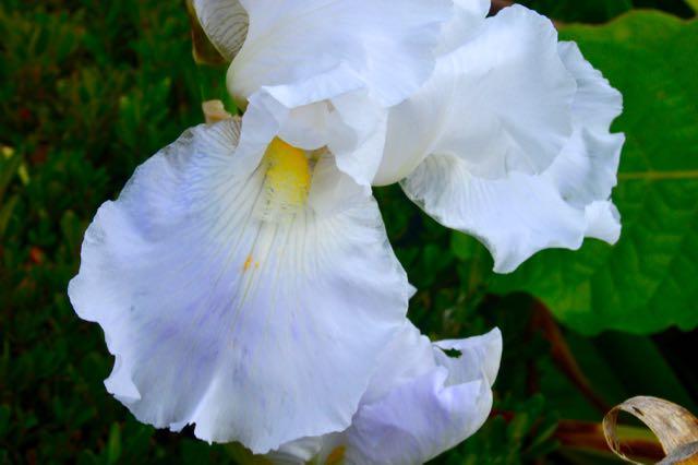 iris-immortality2-torontogardens