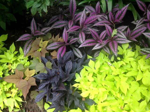 persianshield-ornamentalsweetpotatovine-torontogardens