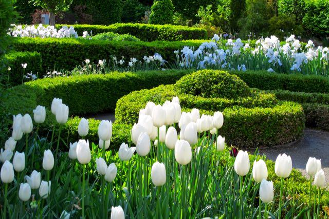 torontobotanicalgarden-knotgarden-whitetulips-immortalityiris-torontogardens