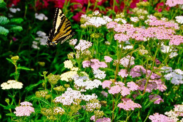 Tiger swallowtail butterfly on Achillea millefolium on the TorontoGardens.com blog