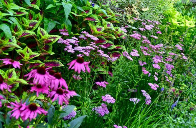 Pink yarrow in the garden of Barbara Katz, #GBFling2017 on the TorontoGardens.com blog