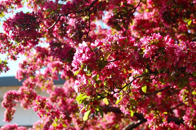 Mays 15 Minutes Of Flame Flowering Crabapples Toronto Gardens