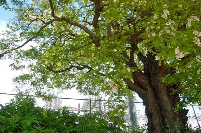 Poem: Black locust (Robinia pseudoacacia) – Toronto Gardens