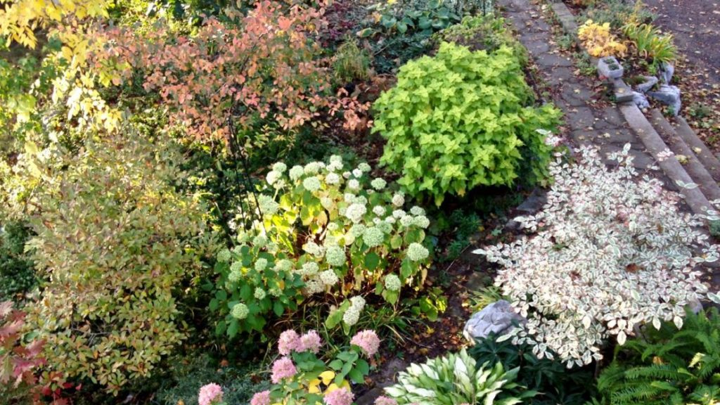 Take A Look At That Bright Green Or Chartreuse Shrub In My Front Garden  Above. It Isnu0027t A Shrub. It Was (once) A Single Pot Of U0027Wasabiu0027 Coleus That  I Bought ...