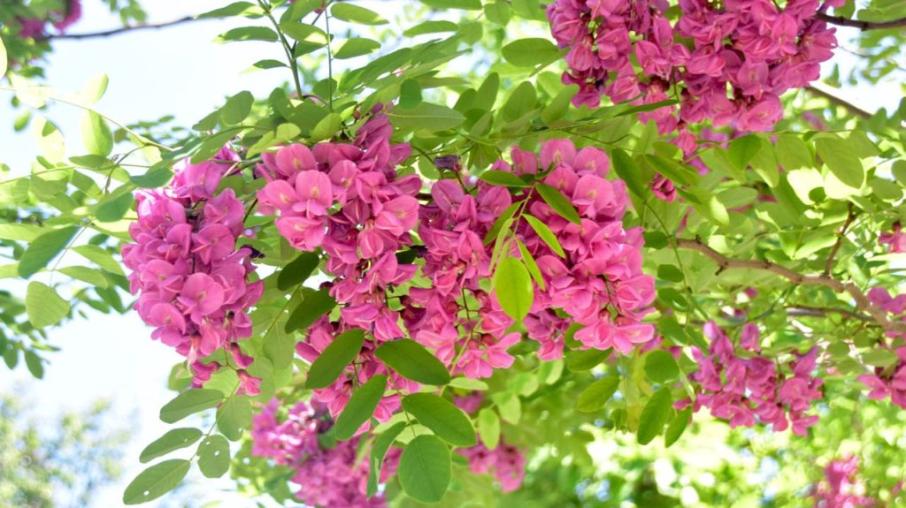 Robinia purple robe that tree with pinky purple flowers toronto another of my plant crushes passed overhead as i began through the garden gate on saturday this tree with the dangling bunches of pealike flowers is the mightylinksfo