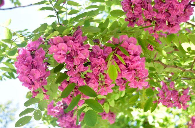 Robinia Purple Robe That Tree With Pinky Purple Flowers Toronto