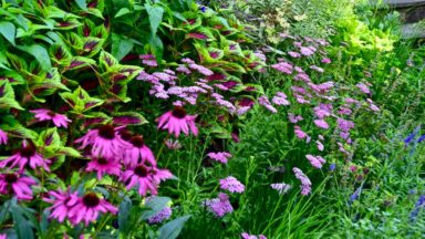 Pink yarrow in the garden of Barbara Katz, #GBFling2017 on the TorontoGardens.com blog