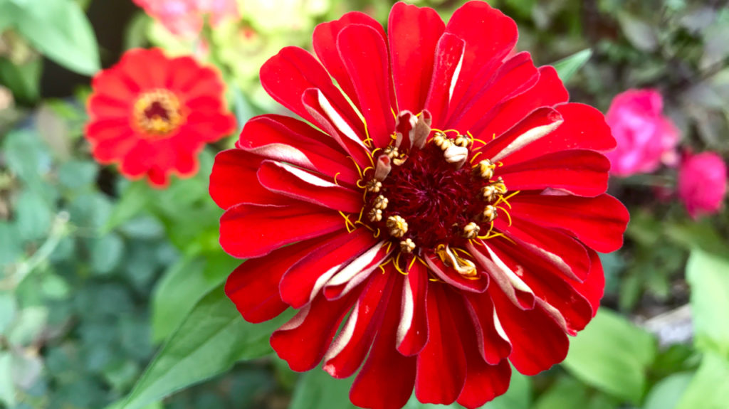 Zinnia, the gift that gives and gives – Toronto Gardens on