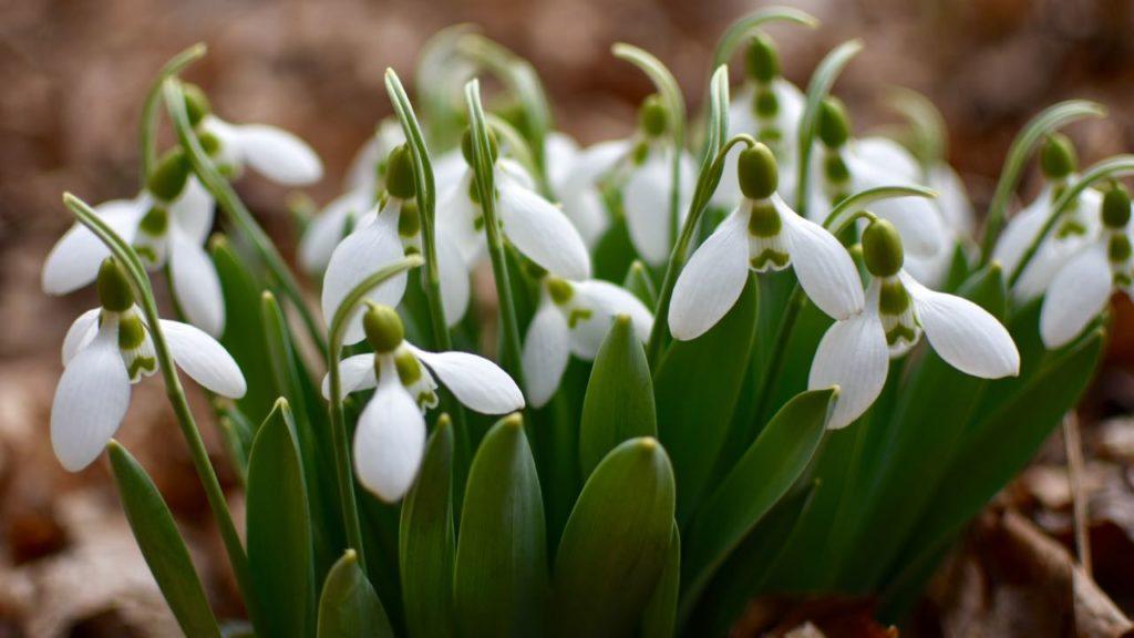 The Reason I Planted 250 Snowdrops Toronto Gardens