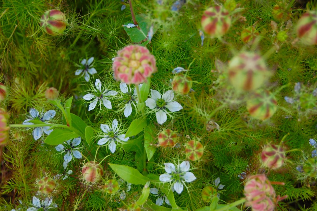Love in a mist is one cool hardy annual toronto gardens you can see by this misty picture how it got its common name izmirmasajfo
