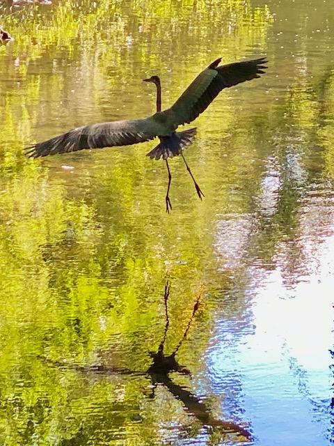A heron flies over Taylor Creek