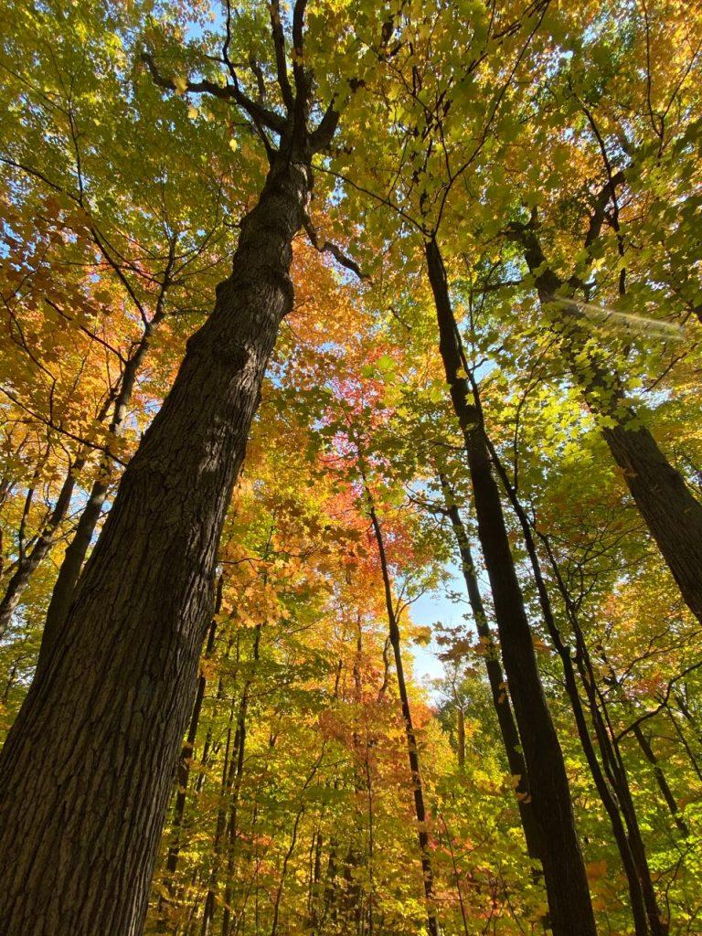 Tall sugar maples in their fall colours