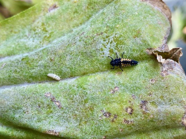 Size comparison of the Psyllobora and Harmonia ladybeetle larvae.
